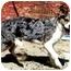 Photo 1 - Australian Shepherd Mix Dog for adoption in San Pedro, California - PAISLEY