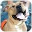 Photo 1 - Mastiff/American Pit Bull Terrier Mix Dog for adoption in Long Beach, New York - Precious