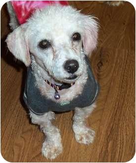 Poodle (Toy or Tea Cup) Dog for adoption in Kokomo, Indiana - Romeo