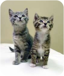 Domestic Shorthair Kitten for adoption in Chicago, Illinois - Jake & Wally, best buds