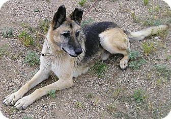 German Shepherd Dog Dog for adoption in Glenwood, Minnesota - Ace