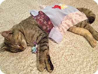 Domestic Shorthair Cat for adoption in Reston, Virginia - Bug A Boo