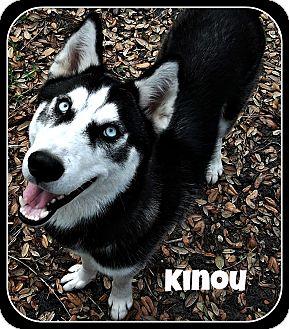Siberian Husky Dog for adoption in Clearwater, Florida - Kinou