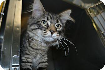 Domestic Mediumhair Kitten for adoption in Edwardsville, Illinois - Tigger