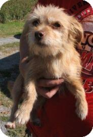 Yorkie, Yorkshire Terrier Mix Dog for adoption in Philadelphia, Pennsylvania - Lucky