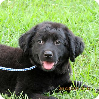 Labrador Retriever Mix Puppy for adoption in Salem, New Hampshire - PUPPY FOXTROT