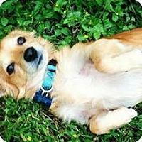 Adopt A Pet :: Fantastic Mr. Fox - Austin, TX