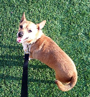 Chihuahua/Corgi Mix Dog for adoption in Fowler, California - Chico