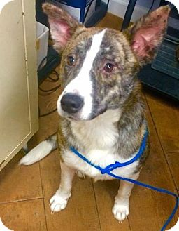 Cattle Dog/Shepherd (Unknown Type) Mix Dog for adoption in Billerica, Massachusetts - Daisy