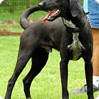 Adopt A Pet :: dozer-2 - Lewisville, IN