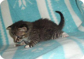 Domestic Shorthair Kitten for adoption in Statesville, North Carolina - Link