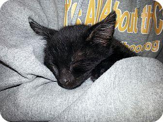 Domestic Shorthair Kitten for adoption in Toledo, Ohio - Blondie (aka Homie)