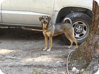 German Shepherd Dog Mix Dog for adoption in Old Town, Florida - Mia