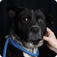 Adopt A Pet :: Dozer - Millersville, MD
