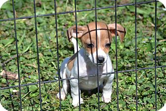 Terrier (Unknown Type, Small) Mix Puppy for adoption in Pikeville, Maryland - Jim Bob