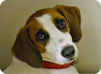 Treeing Walker Coonhound/Hound (Unknown Type) Mix Dog for adoption in Bakersville, North Carolina - Sundance