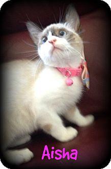 Siamese Kitten for adoption in San Diego, California - Aisha