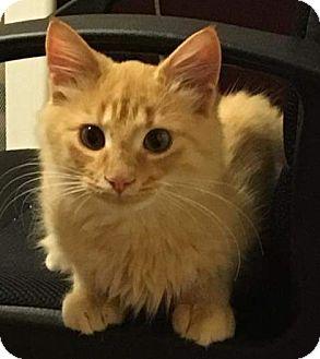 Domestic Shorthair Kitten for adoption in Charlotte, North Carolina - norman