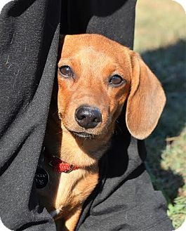 Dachshund Puppy for adoption in Westport, Connecticut - *Cecil - PENDING