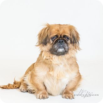 Pekingese Mix Dog for adoption in Naperville, Illinois - Rhonda