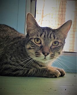 Domestic Shorthair Cat for adoption in Savannah, Georgia - Asbury