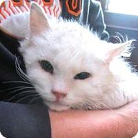 Adopt A Pet :: Snowflake - Davis, CA