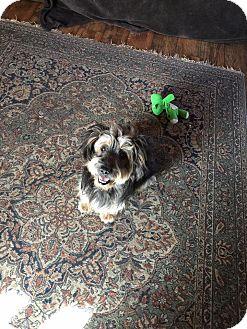 Yorkie, Yorkshire Terrier/Terrier (Unknown Type, Medium) Mix Dog for adoption in San Diego, California - Amelia