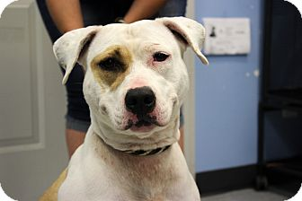 American Bulldog/American Pit Bull Terrier Mix Dog for adoption in Martinsville, Indiana - Daisy