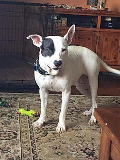 Pit Bull Terrier Dog for adoption in New York, New York - Amber