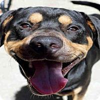 Rottweiler Dog for adoption in Fort Walton Beach, Florida - MEMPHIS