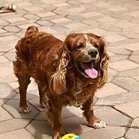 Adopt A Pet :: Benji - Flushing, NY