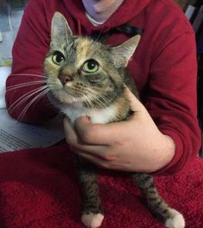 Bengal/Domestic Shorthair Mix Cat for adoption in Salem, Ohio - Squeaker