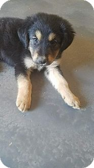 German Shepherd Dog/Australian Shepherd Mix Puppy for adoption in Phoenix, Arizona - Max