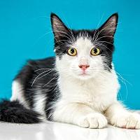 Adopt A Pet :: Mopsy - Chandler, AZ