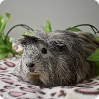 Adopt A Pet :: Fabio - Pine Bush, NY