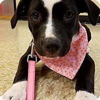 Adopt A Pet :: Phoebe - Wichita Falls, TX