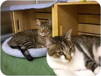 Domestic Shorthair Cat for adoption in San Diego, California - Yu