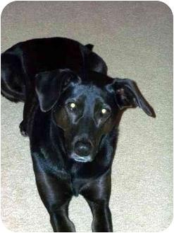 Labrador Retriever Mix Dog for adoption in Huntsville, Alabama - Nikki
