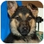 Photo 1 - German Shepherd Dog Puppy for adoption in Los Angeles, California - Harlow von Hamburg