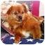 Photo 1 - Pomeranian/Pekingese Mix Dog for adoption in Osseo, Minnesota - Sunny