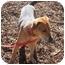 Photo 1 - Beagle/Shepherd (Unknown Type) Mix Dog for adoption in Marion, North Carolina - Rocky