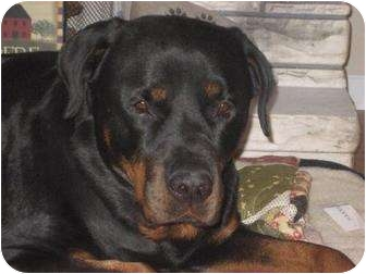 Rottweiler Dog for adoption in Rexford, New York - Maximus