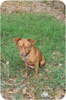 Miniature Pinscher Mix Dog for adoption in Richburg, South Carolina - Ollie