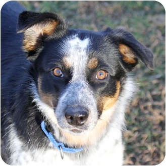 Australian Cattle Dog/Australian Shepherd Mix Dog for adoption in Sacramento, California - Rockae!
