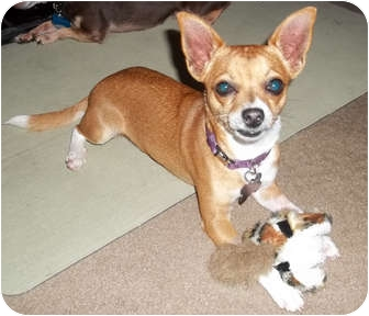 Chihuahua Mix Dog for adoption in San Diego, California - Paco