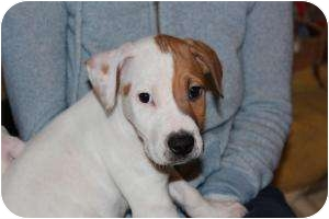 Hound (Unknown Type)/Beagle Mix Puppy for adoption in Marlton, New Jersey - Charlie