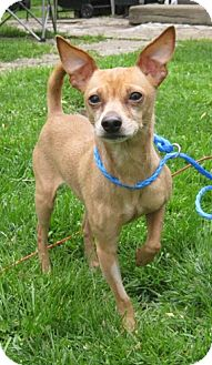 Chihuahua Mix Dog for adoption in Mt. Prospect, Illinois - Pinto