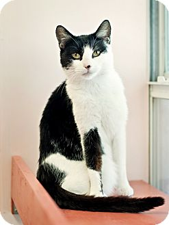 Domestic Shorthair Cat for adoption in Carencro, Louisiana - Molly