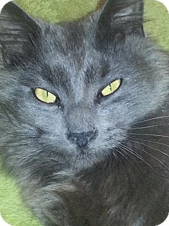 Domestic Longhair Cat for adoption in Hazlet, New Jersey - Mango