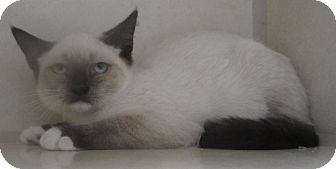 Siamese Kitten for adoption in Westminster, California - Ron